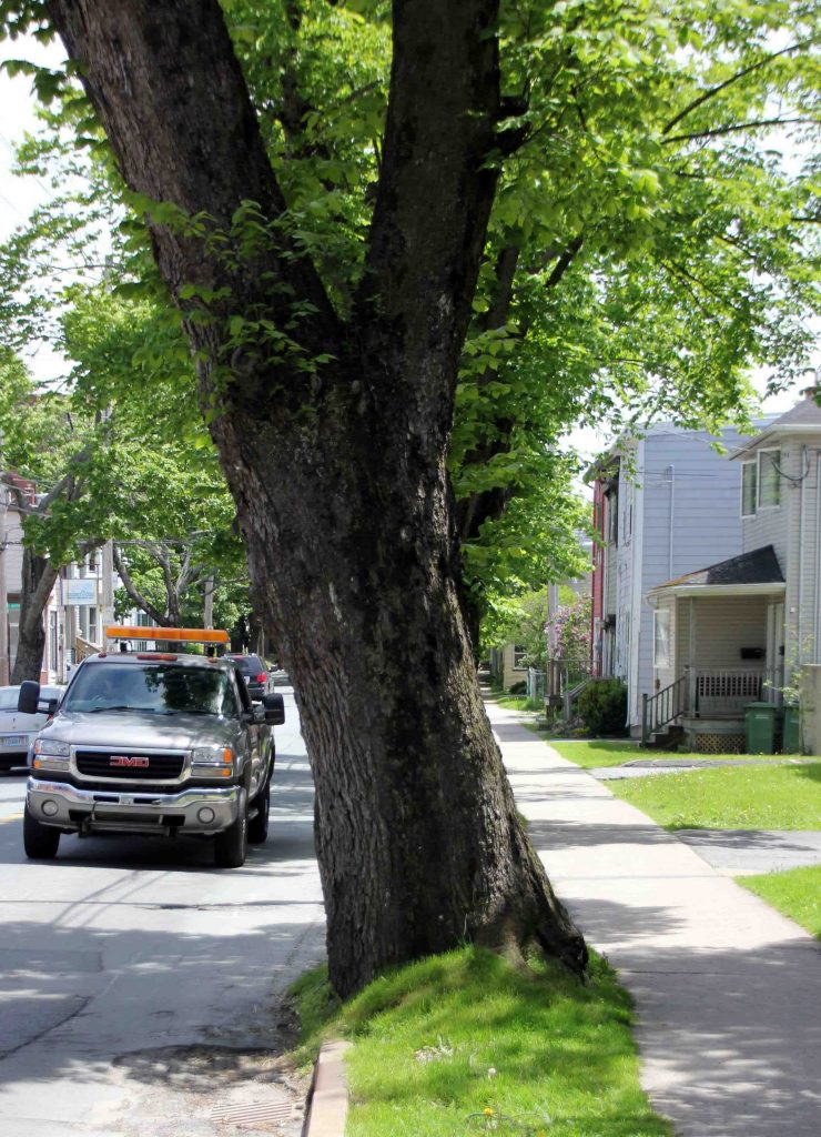 The majority of HRM's powerlines are above ground, but trees are still planted in proximity. GIS helps guide the municipality's cyclical pruning of street trees.