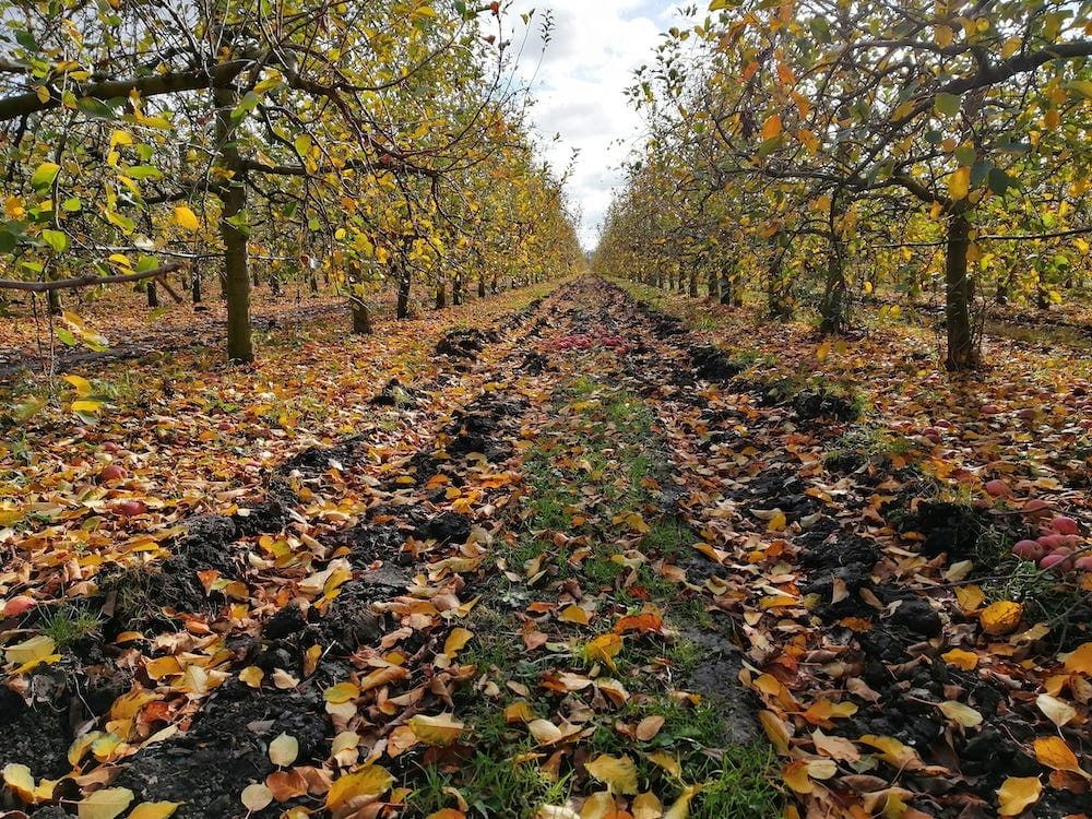 Figure 1. Deep Ripping in a New Zealand orchard interrow